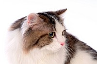 Turkish angora, turkishangora, domestic cat, feline, domestic animal, TurkishAngora (thumbnail)