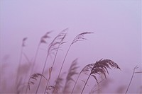 Grass, scenery, plants, eulalia, plant, grasses, nature (thumbnail)