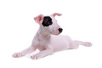 pose, terrier, house pet, canines, domestic, bull terrier