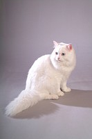 close up, turkishangora, looking back, looking away, domestic animal, closeup, TurkishAngora