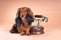 classical telephone, animal, telephone, dachshund, dog, antique telephone, pet