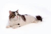 closeup, TurkishAngora, close up, domestic animal, turkishangora, cat