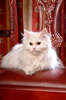 domestic cat, TurkishAngora, feline, domestic animal, turkishangora, cute, cat