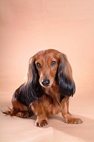 looking forward, animal, domestic animal, dachshund, dog, looking camera, pet