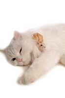 domestic, hamster, feline, rodent, turkish angora, roborovskiis