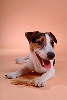 close up, russell, domestic animal, pet, terrier, jack russell terrier