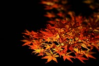 The Lit_Up Autumn Leaves