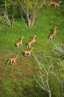 Aerial view of herd of running axis deer in Maui, Hawaii.