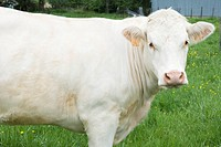 White cow in pasture, close_up