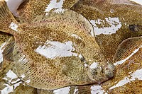 Flatfish