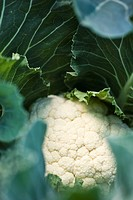 Cauliflower growing, close_up