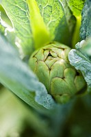 Young artichoke, extreme close_up