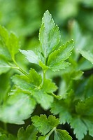 Flat leaf parsley growing, close_up