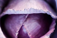 Purple cabbage, close_up