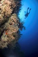 Red Sea coral reef view with diver and reef wall covered in colourful soft corals, Red Sea, Egypt
