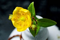 Hypericum patulum