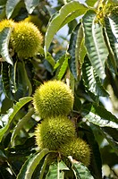 Chestnut bur