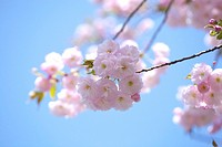 Cherry blossoms (thumbnail)