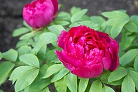 Peony