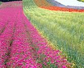 Flower field