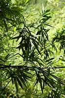 Bamboo leaves against green background in Maui, Hawaii, USA.