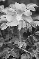 Black And White, Blossom, Cultivated, Flora, Flower, Foliage