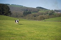 Calm, cattle, countryside (thumbnail)