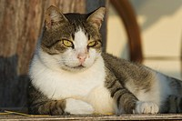 Cat, Close_Up, Day, Domestic Cat, Feline