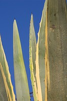 Blade, Cactus, Close_Up, Day, Leaves