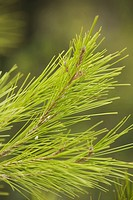 Branch, Close_Up, Coniferous Tree, Day, Evergreen Tree