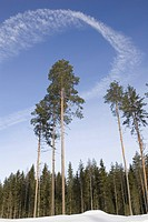 Blue, Clear Sky, Day, Evergreen Tree, Forest