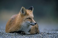 foxes, red fox, sorrel, American, resting, repose, vulpes