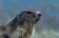 groundhog, marmot, marble, rodent, rodents, national park, nature