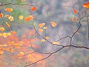 leaves, season, tree, autumn, fall, maple, nature