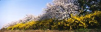 spring, panorama, season, cherry blossom, golden_bell tree, nature, panoramic view