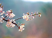 Cherryblossoms, flower, plants, plant, film (thumbnail)