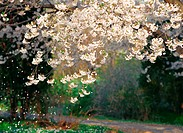 cherryblossoms, spring, flower, plant, nature, film