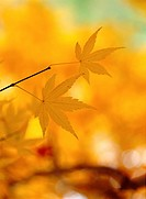 Autumnal tints, mapleleaf, maple leaves, maple, autumn, fall foliage, plant (thumbnail)