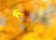 Tree, season, leaves, autumn, fall, maple, nature (thumbnail)