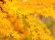 Autumnal tints, tree, maple leaves, maple, autumn, fall foliage, plant (thumbnail)