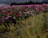 Flower bed, nature, flowers, flower, scene, field, landscape (thumbnail)