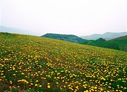 dandelion, nature, flower, plant, scenery, film