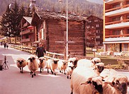 Country, nature, scenery, sheep, animal, film (thumbnail)