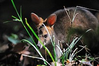 Pademelon (Thylogale sp.), Lamington National Park, Australia