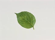 The Leaf Of A Hydrangea