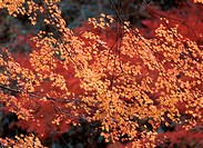 Yellow Maple Leaves On Branch
