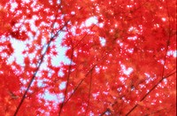 Branches Of Red Maple Leaves