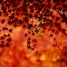 Maple Leaves At Sunset