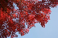 A Maple And A Blue Sky