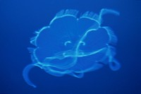 Jellyfish